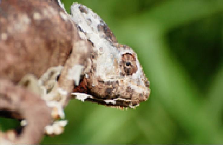 Feral Chameleons