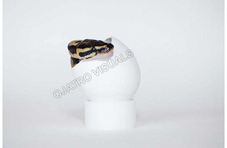 BAP Egg STLS 130711 4