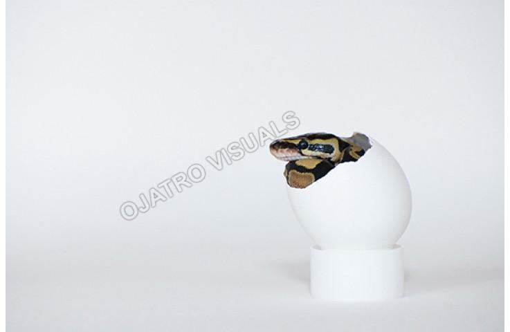 BAP Egg STLS 130711 6