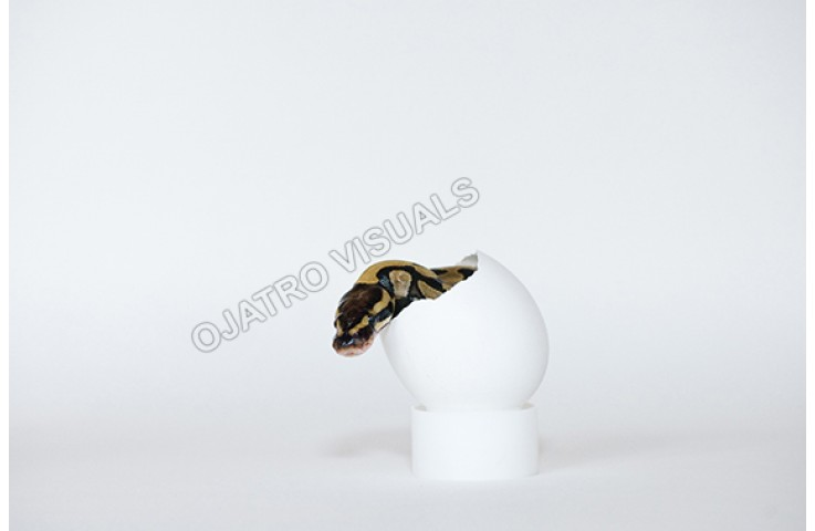 BAP Egg STLS 130711 8