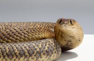 Egyptian Cobras