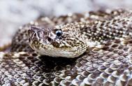 Uracoan Rattlesnakes
